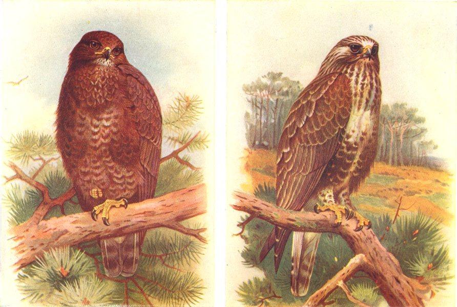 Associate Product BRITISH BIRDS. Buzzard; Rough-legged Buzzard. THORBURN 1925 old vintage print