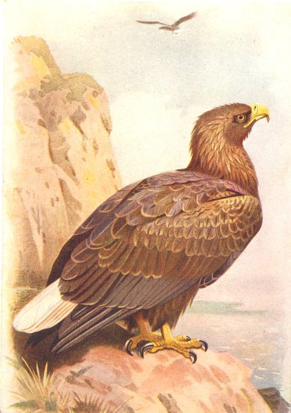 Associate Product BRITISH BIRDS. White tailed Eagle (mature) . THORBURN 1925 old vintage print