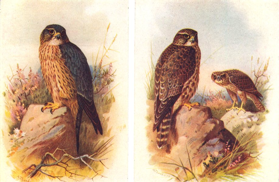 Associate Product BRITISH BIRDS. Male, Merlin; Female and immature male. THORBURN 1925 old print