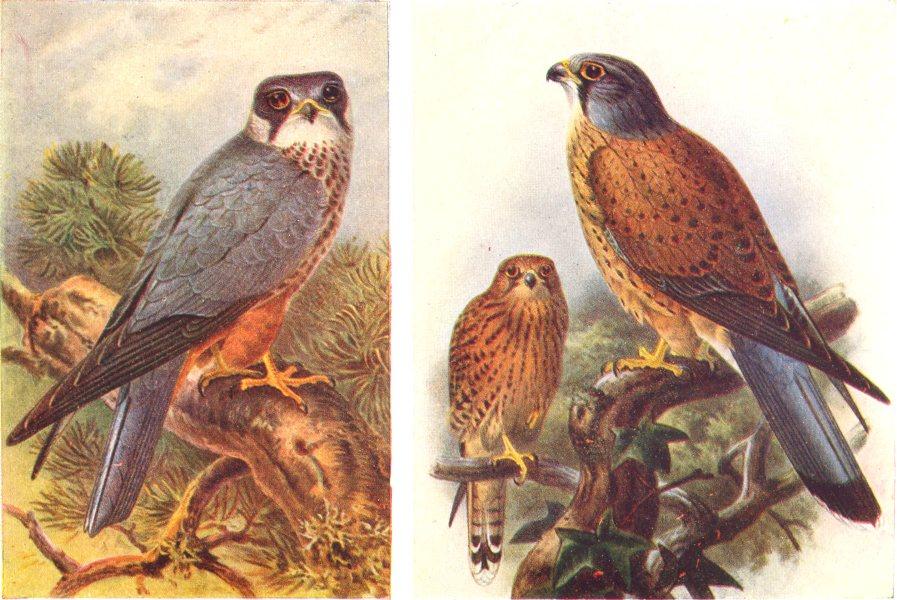 Associate Product BRITISH BIRDS. Hobby (male) ; Kestrel. THORBURN 1925 old vintage print picture