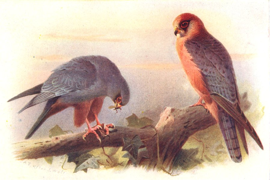 Associate Product BRITISH BIRDS. Red-footed Falcon. THORBURN 1925 old vintage print picture