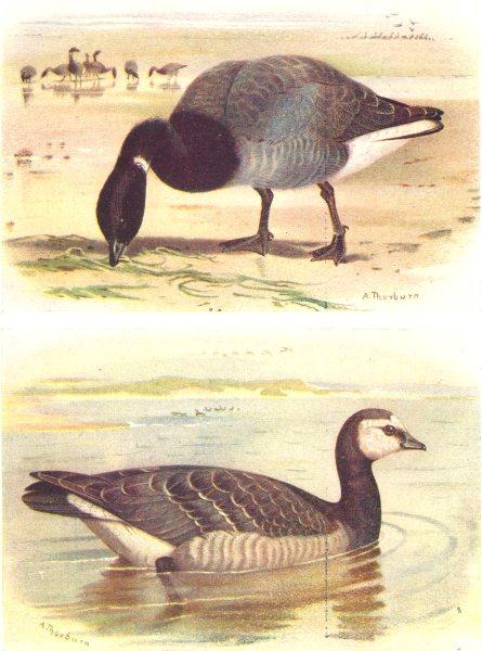 BRITISH BIRDS. Brent Goose; Barnacle-Goose. THORBURN 1925 old vintage print