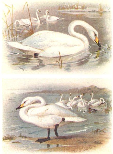 Associate Product BRITISH BIRDS. Whooper Swan; Bewick's Swan. THORBURN 1925 old vintage print