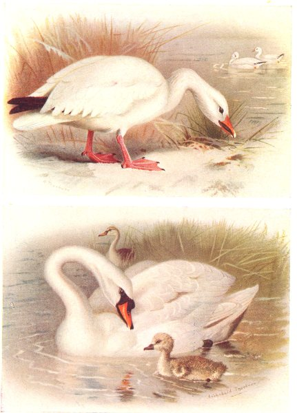 Associate Product BRITISH BIRDS. Snow-Goose; Mute Swan. THORBURN 1925 old vintage print picture