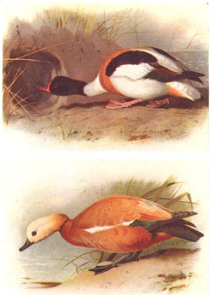 Associate Product BRITISH BIRDS. Sheld-duck; Ruddy Sheld-duck. THORBURN 1925 old vintage print