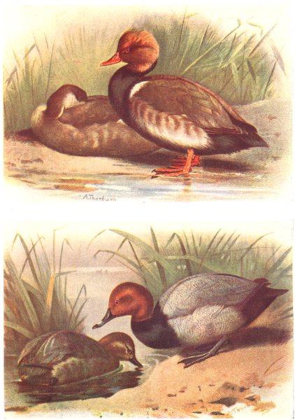 Associate Product BRITISH BIRDS. Red-crested Pochard; Pochard. THORBURN 1925 old vintage print