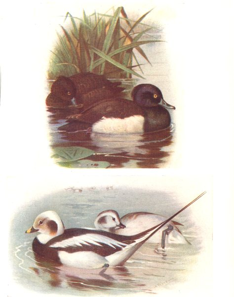 BRITISH BIRDS. Tufted Duck; Long-tailed duck (male/female winter).THORBURN 1925