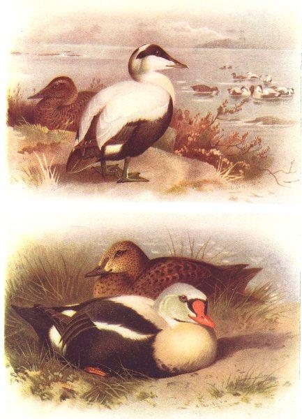 Associate Product BRITISH BIRDS. Eider; King-Eider. THORBURN 1925 old vintage print picture