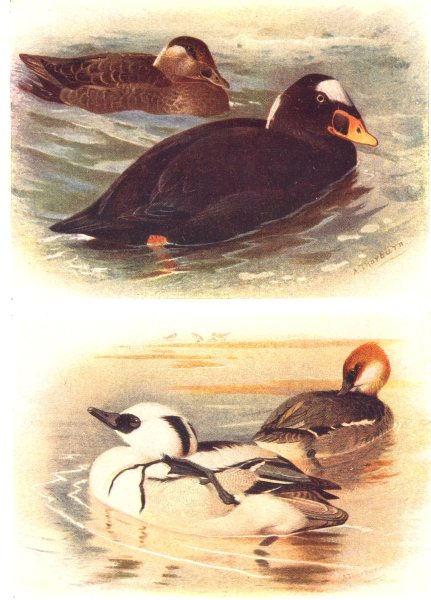 Associate Product BRITISH BIRDS. Surf-Scoter; Smew. THORBURN 1925 old vintage print picture