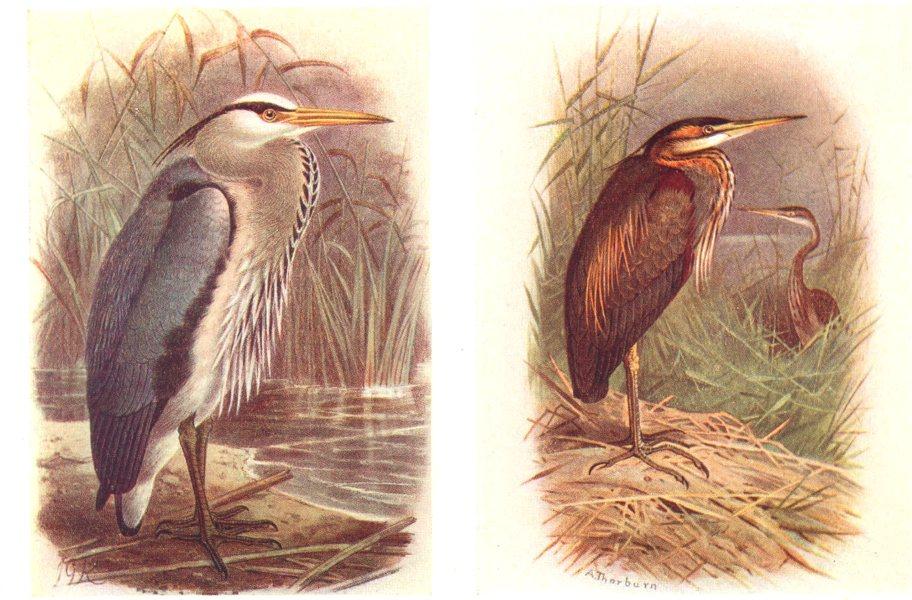 Associate Product BRITISH BIRDS. Heron; Purple Heron. THORBURN 1925 old vintage print picture