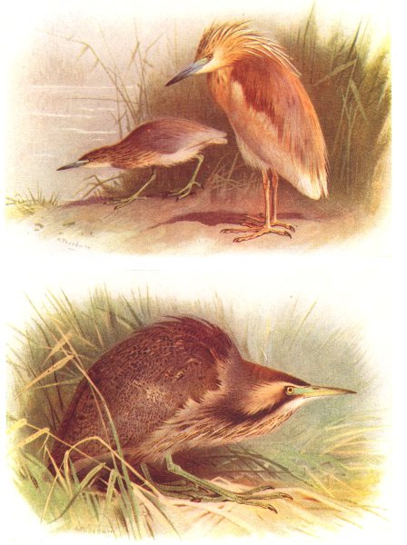 Associate Product BRITISH BIRDS. Squacco Heron; American Bittern. THORBURN 1925 old print