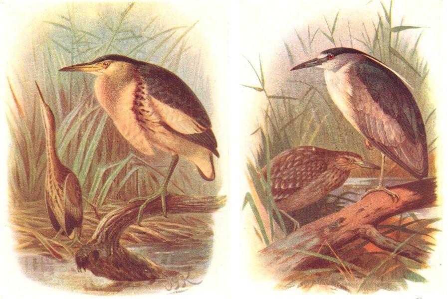 Associate Product BRITISH BIRDS. Little Bittern; Night-Heron. THORBURN 1925 old vintage print
