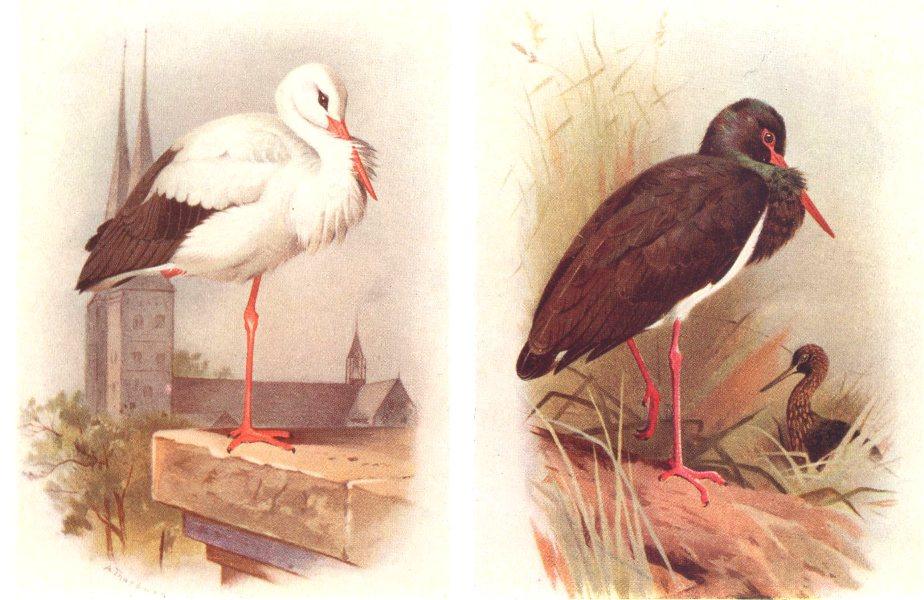 Associate Product BRITISH BIRDS. White Stork; Black Stork. THORBURN 1925 old vintage print