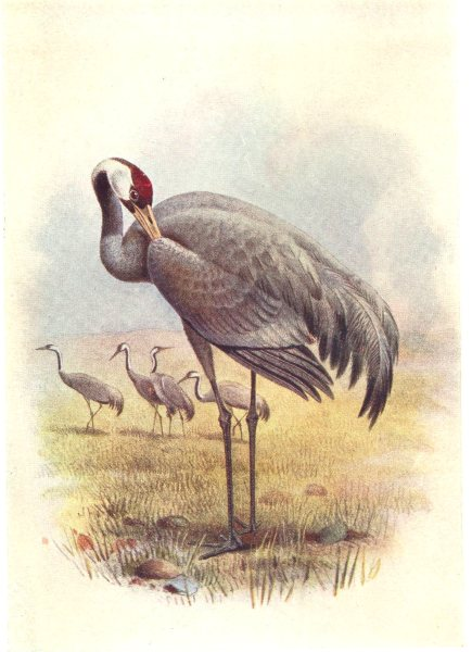 BRITISH BIRDS. Crane. THORBURN 1925 old vintage print picture