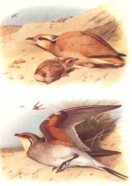 Associate Product BRITISH BIRDS. Cream-coloured Courser; Collared Pratincole. THORBURN 1925