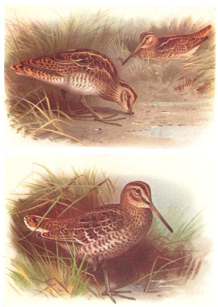 Associate Product BRITISH BIRDS. Common Snipe; Great Snipe. THORBURN 1925 old vintage print