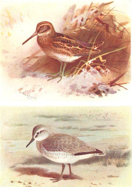 Associate Product BRITISH BIRDS. Jack Snipe; Knot (Winter) . THORBURN 1925 old vintage print