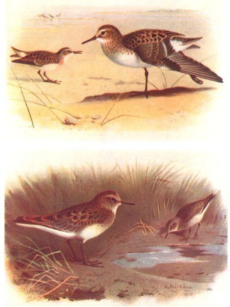 Associate Product BRITISH BIRDS. Little Stint; Temminck's Stint. THORBURN 1925 old vintage print