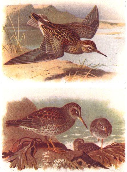 Associate Product BRITISH BIRDS. Pectoral Sandpiper; Purple Sandpiper. THORBURN 1925 old print