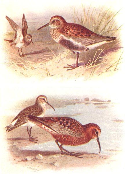 Associate Product BRITISH BIRDS. Dunlin (Summer & Winter) ; Curlew Sandpiper(Autumn).THORBURN 1925