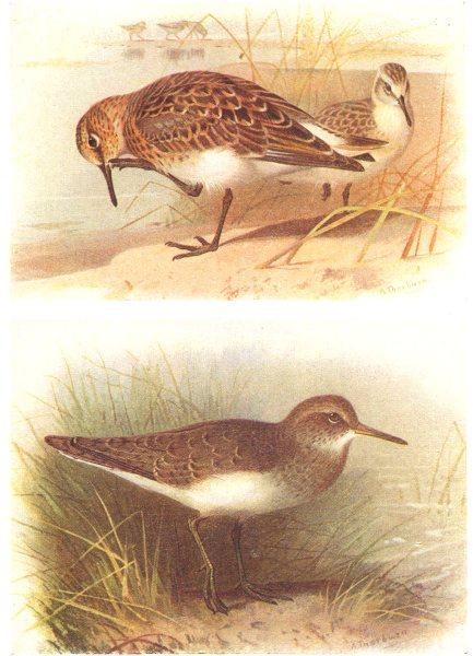 Associate Product BRITISH BIRDS. Sanderling; Common Sandpiper. THORBURN 1925 old vintage print