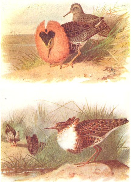 BRITISH BIRDS. Ruffs and Reeve. THORBURN 1925 old vintage print picture