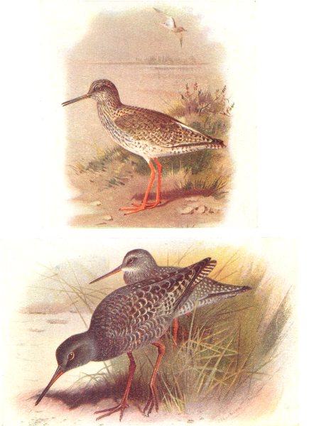 Associate Product BRITISH BIRDS. Redshank; Spotted Redshank. THORBURN 1925 old vintage print