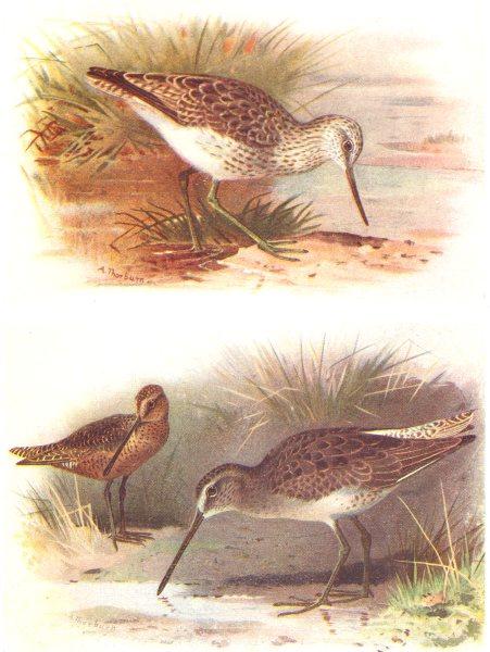 Associate Product BRITISH BIRDS. Greenshank; Red-breasted Snipe. THORBURN 1925 old vintage print