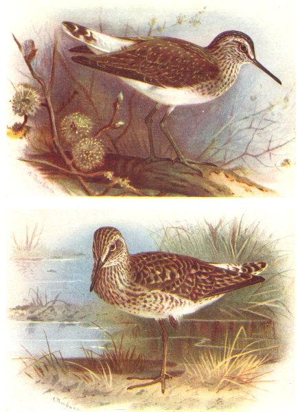 Associate Product BRITISH BIRDS. Green Sandpiper; Wood Sandpiper. THORBURN 1925 old print