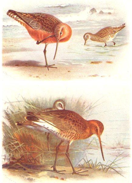 Associate Product BRITISH BIRDS. Bar-tailed Godwit; Black-tailed Godwit. THORBURN 1925 old print