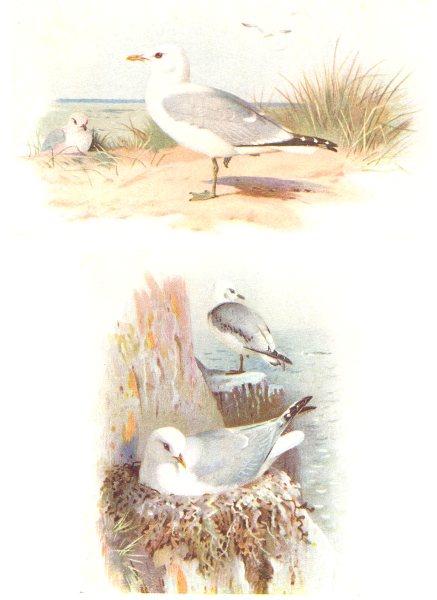 Associate Product BRITISH BIRDS. Common Gull; Kittiwake. THORBURN 1925 old vintage print picture