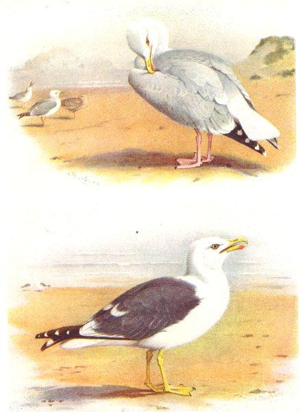 Associate Product BRITISH BIRDS. Herring-Gull; Lesser Black-Backed Gull. THORBURN 1925 old print
