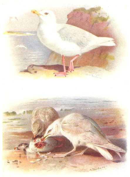 Associate Product BRITISH BIRDS. Glaucous Gull; Iceland gull (immature) . THORBURN 1925 print