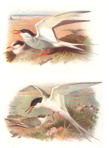 Associate Product BRITISH BIRDS. Arctic Tern; Roseate Tern. THORBURN 1925 old vintage print