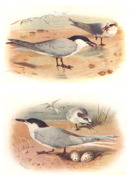 Associate Product BRITISH BIRDS. Gull-billed Tern; Sandwich Tern. THORBURN 1925 old print