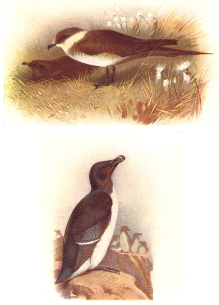 Associate Product BRITISH BIRDS. Richardson's Skua; Razorbill. THORBURN 1925 old vintage print