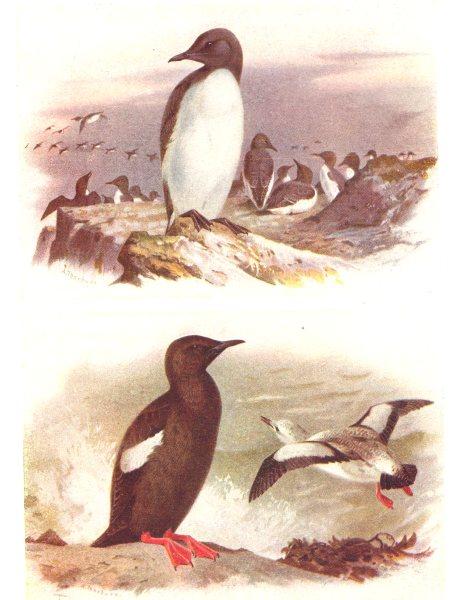 Associate Product BRITISH BIRDS. Common Guillemot; Black Guillemot. THORBURN 1925 old print