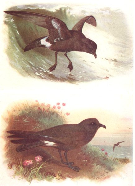Associate Product BRITISH BIRDS. Storm-Petrel; Leach's Petrel. THORBURN 1925 old vintage print