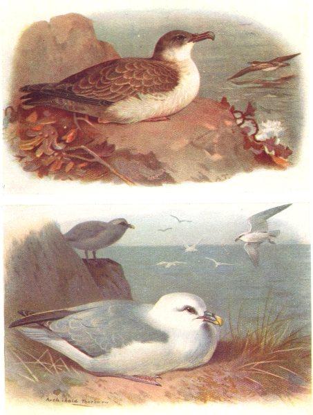 Associate Product BRITISH BIRDS. Great Shearwater; Fulmar. THORBURN 1925 old vintage print