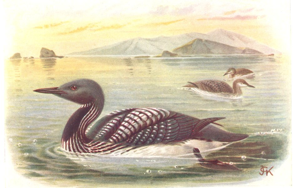 Associate Product BRITISH BIRDS. Black-throated diver. THORBURN 1925 old vintage print picture