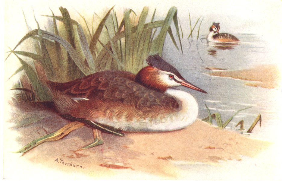Associate Product BRITISH BIRDS. Great Crested Grebe. THORBURN 1925 old vintage print picture