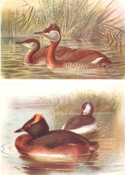 Associate Product BRITISH BIRDS. Red-necked, Slavonian Grebe (Summer and Winter) . THORBURN 1925