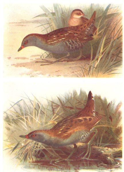 Associate Product BRITISH BIRDS. Baillon's Crake; Little Crake. THORBURN 1925 old vintage print