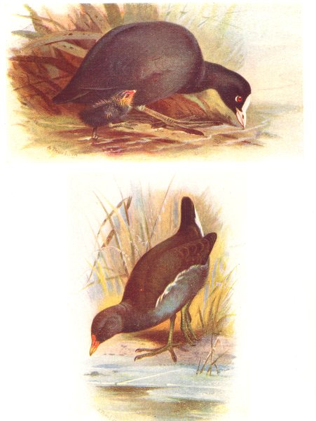 Associate Product BRITISH BIRDS. Coot Moorhen. THORBURN 1925 old vintage print picture