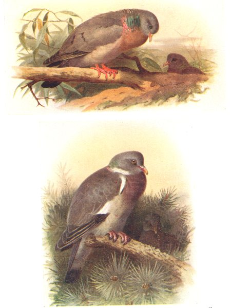 Associate Product BRITISH BIRDS. Stock-dove; Ring-dove. THORBURN 1925 old vintage print picture