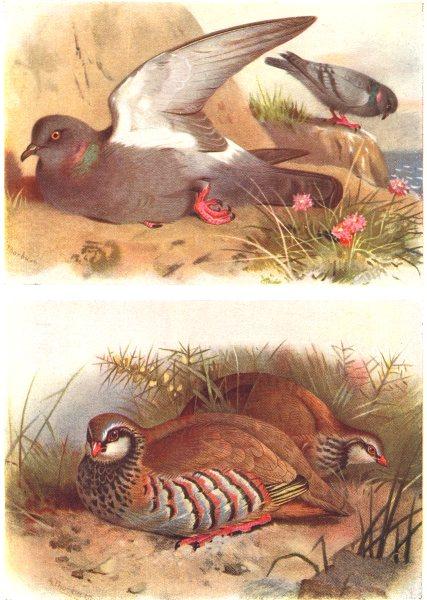 Associate Product BRITISH BIRDS. Rock Dove; Red-legged Partridge. THORBURN 1925 old print
