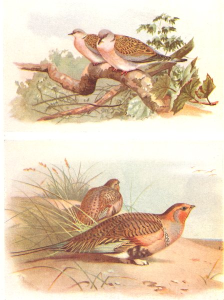Associate Product BRITISH BIRDS. Turtle-Dove; Pallass Sand-Grouse. THORBURN 1925 old print