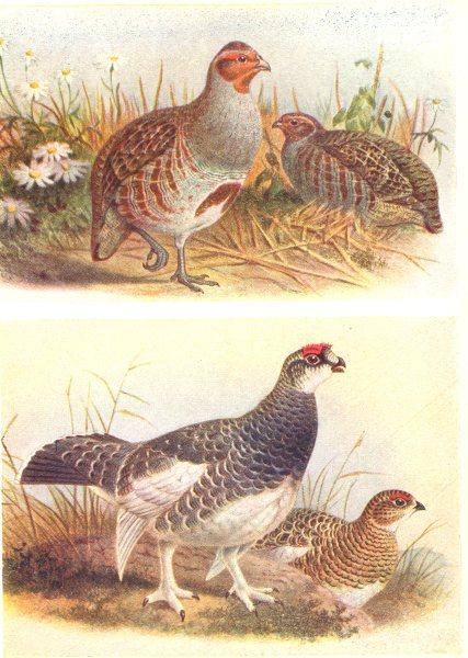 Associate Product BRITISH BIRDS. Partridge; Ptarmigan (Summer) . THORBURN 1925 old vintage print