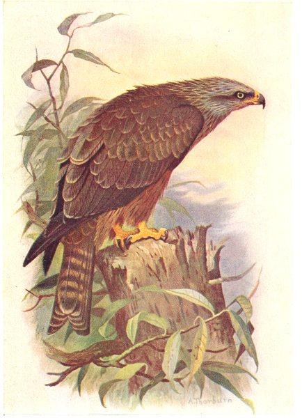 BRITISH BIRDS. Black Kite. THORBURN 1925 old vintage print picture