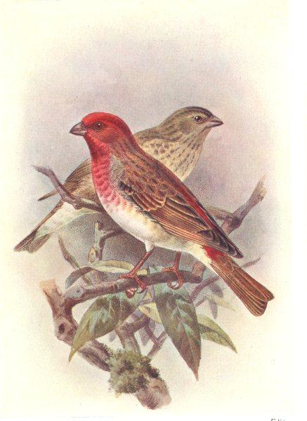 Associate Product BRITISH BIRDS. Scarlet Grosbeak. THORBURN 1925 old vintage print picture